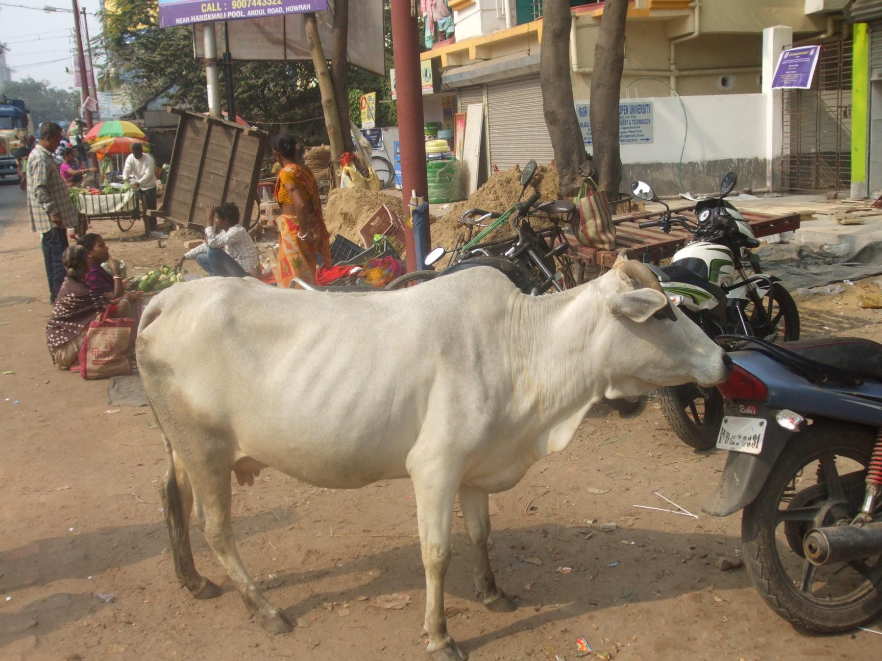 Kuh auf Straße