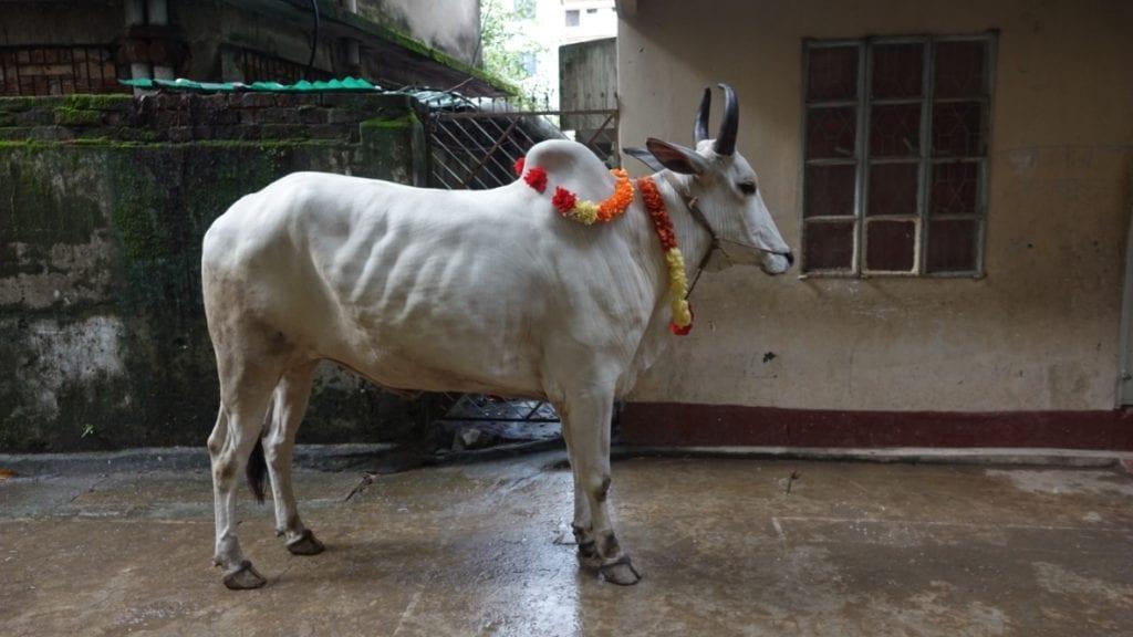 Bunt geschmückt wartet die Kuh auf ihre Opferung