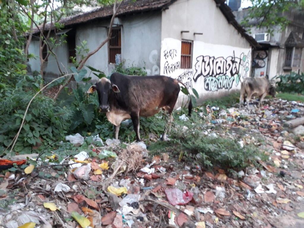 Eine Kuh in Kalkutta
